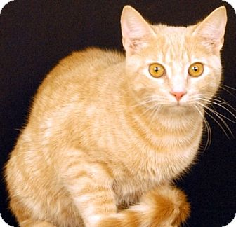 Domestic Shorthair Cat for adoption in Newland, North Carolina - Tommy