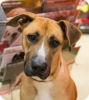 Boxer/Shepherd (Unknown Type) Mix Dog for adoption in Grass Valley, California - Lola