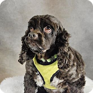 Cocker Spaniel Dog for adoption in St. Louis Park, Minnesota - Ellen