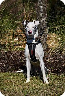 Catahoula Leopard Dog/Greyhound Mix Dog for adoption in Houston, Texas - Gus