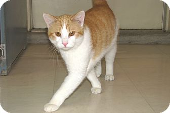 Domestic Shorthair Kitten for adoption in Ruidoso, New Mexico - Ivan