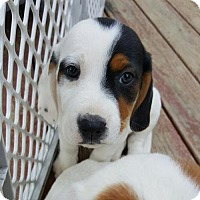 Adopt A Pet :: Maddie - Morganville, NJ