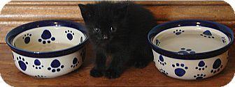 Domestic Mediumhair Kitten for adoption in Florence, Kentucky - Zayna