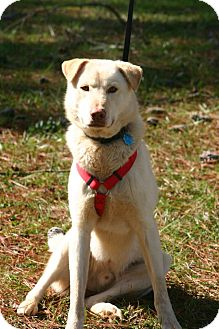 Labrador Retriever/Husky Mix Dog for adoption in Huntsville, Alabama - Colby Jack