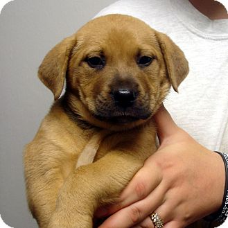 Rottweiler/Boxer Mix Puppy for adoption in Greencastle, North Carolina - Quarry