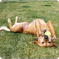 Adopt A Pet :: Ginger - Albuquerque, NM
