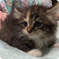 Adopt A Pet :: Temptation - Acme, PA