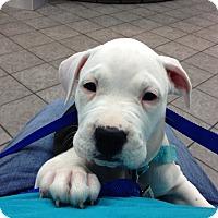 Adopt A Pet :: Josie - Mount Laurel, NJ