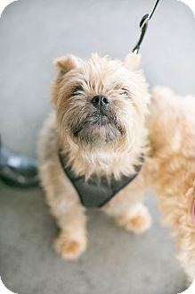 Brussels Griffon Dog for adoption in Los Angeles, California - Truffles