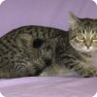Domestic Shorthair Cat for adoption in Powell, Ohio - Nevada