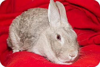 Chinchilla, American Mix for adoption in Lowell, Massachusetts - Dame Chubbles The First
