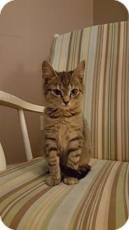 Domestic Shorthair Cat for adoption in Burlington, North Carolina - CATNISS