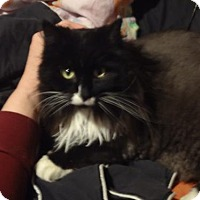 Domestic Longhair Cat for adoption in River Falls, Wisconsin - Lilith