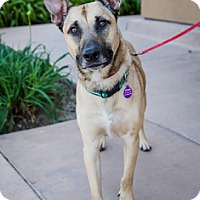 Belgian Malinois Mix Dog for adoption in Fremont, California - Nitro D5109 (was D5135)