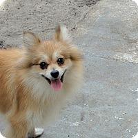 Adopt A Pet :: Abbey - Tavares, FL