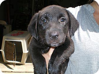 Schnauzer (Miniature)/Basset Hound Mix Puppy for adoption in Apex, North Carolina - Betty
