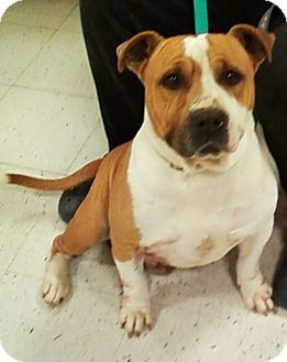 English Bulldog Mix Dog for adoption in Midlothian, Virginia - Buster the English Bulldog