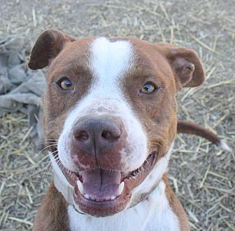 Boxer/Spaniel (Unknown Type) Mix Dog for adoption in Fort Madison, Iowa - Hill