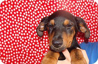 Rottweiler/German Shepherd Dog Mix Puppy for adoption in Oviedo, Florida - Neon