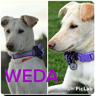 Shepherd (Unknown Type) Mix Puppy for adoption in Mesa, Arizona - WEDA - 6 MO SHEPHERD FEMALE