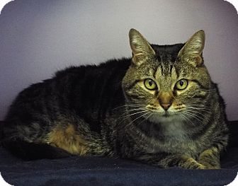 Domestic Shorthair Cat for adoption in Grants Pass, Oregon - Peggy Sue