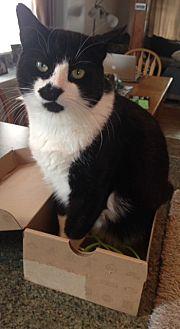 Domestic Shorthair Cat for adoption in Bryn Mawr, Pennsylvania - DOMINO/ LAP KITTY