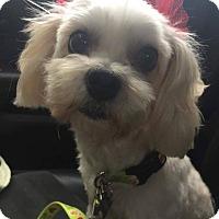 Adopt A Pet :: Celeste - Houston, TX