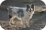 Australian Shepherd Dog for adoption in Simi Valley, California - Bo