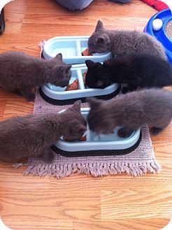 Domestic Shorthair Kitten for adoption in Island Park, New York - Gray Kitties