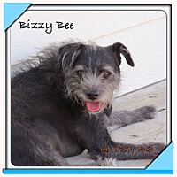 Terrier (Unknown Type, Small) Mix Dog for adoption in San Antonio, Texas - Bizzy Bee