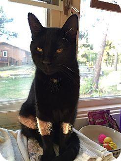 Domestic Mediumhair Cat for adoption in Colorado Springs, Colorado - Tonka