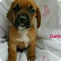 Adopt A Pet :: Darling - Marlton, NJ