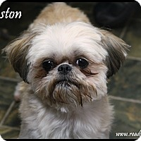 Adopt A Pet :: Winston - Rockwall, TX