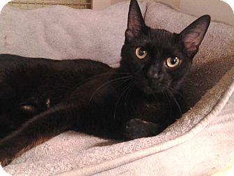 Domestic Shorthair Cat for adoption in Richmond, Virginia - Calypso