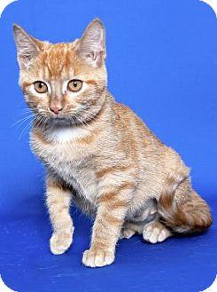 Domestic Shorthair Kitten for adoption in Gloucester, Virginia - BRAM STOKER