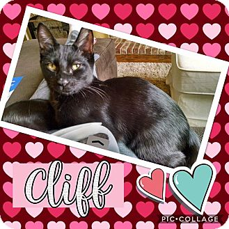 Domestic Shorthair Kitten for adoption in Keller, Texas - Cliff