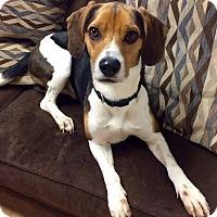 Adopt A Pet :: Flint in CT - Manchester, CT