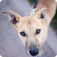 Adopt A Pet :: Holler - Phoenix, AZ