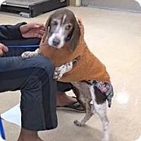 Adopt A Pet :: Millie - Sparta, NJ