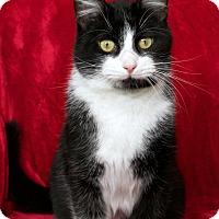 Adopt A Pet :: Harold - St Louis, MO