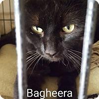 Adopt A Pet :: Bagherra - Evansville, IN
