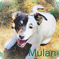 Adopt A Pet :: MULAN - Puppy Princess! - Chandler, AZ