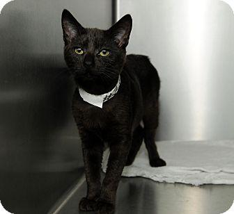 Domestic Shorthair Cat for adoption in Farmingdale, New York - Sapphire
