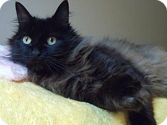 Domestic Mediumhair Cat for adoption in Portland, Oregon - Matilda