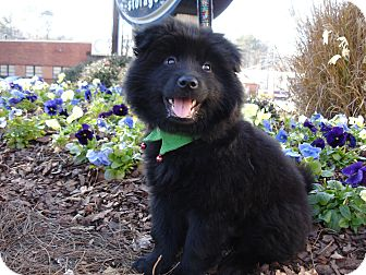 Pomeranian/Chow Chow Mix Puppy for adoption in Tucker, Georgia - Asher