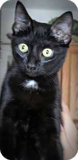 Domestic Shorthair Kitten for adoption in Seminole, Florida - Gabby