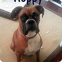 Adopt A Pet :: Hoppy - St. Robert, MO