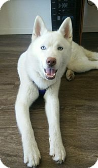Husky Puppy for adoption in Long Beach, California - Blue