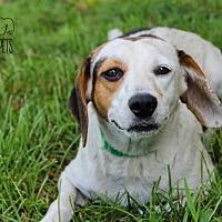 Beagle Mix Dog for adoption in Troy, Illinois - Loretta Fostered (Matt H)
