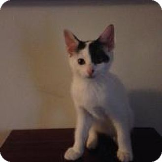 Domestic Shorthair Kitten for adoption in Pelham, Alabama - Storm